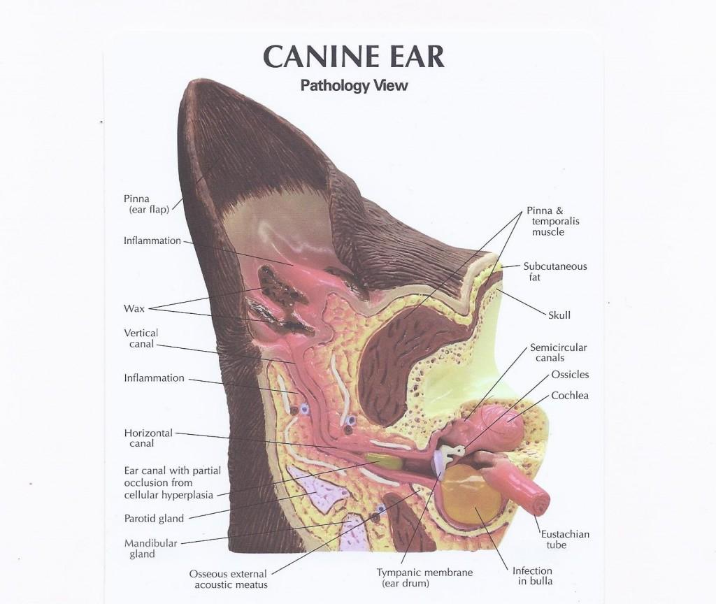 Canine_Ear_Pathology (1) how do i clean my dogs ears | apple cider
