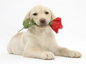 Holidays___Saint_Valentines_Day_Dog_with_a_rose_on_Valentine_s_Day_057114_