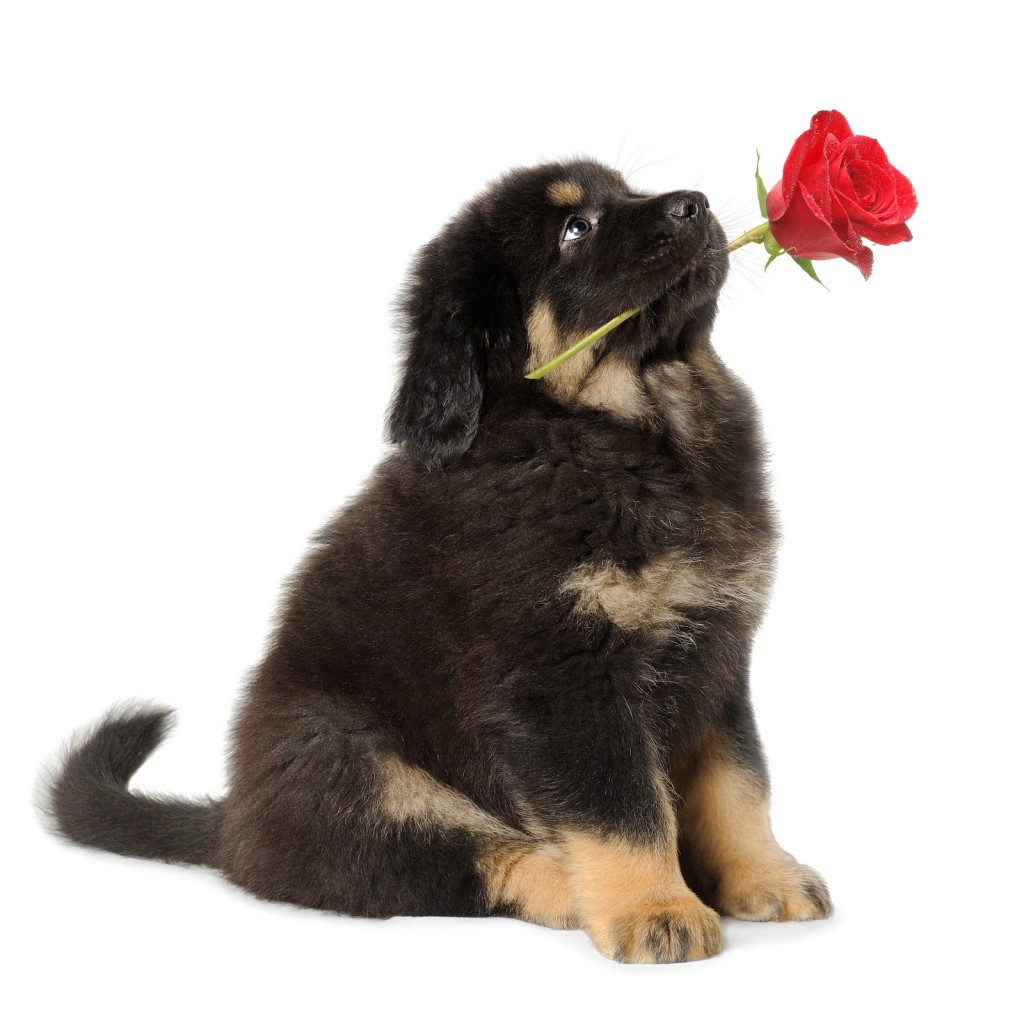 puppy-with-rose-large