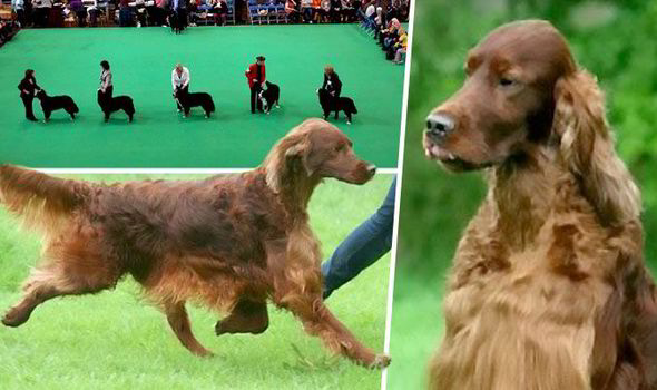 Irish-Setter-Jagger-Death-At-The-Crufts-Competition-Nec-Birmingham-Dog-Dies-After-Being-Poisoned-562660