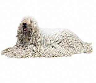 Komondor_dog_breed