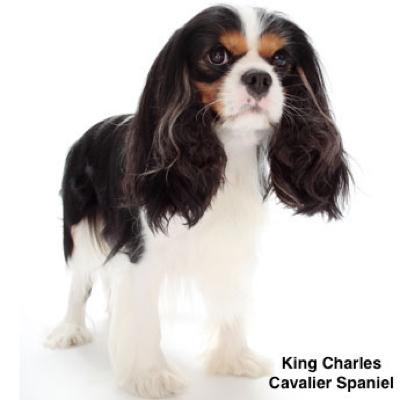 cavalier-king-charlesspaniela