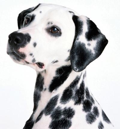 dalmatian-1081-1680x1050