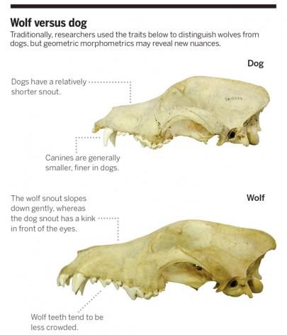 λύκος vs σκύλος