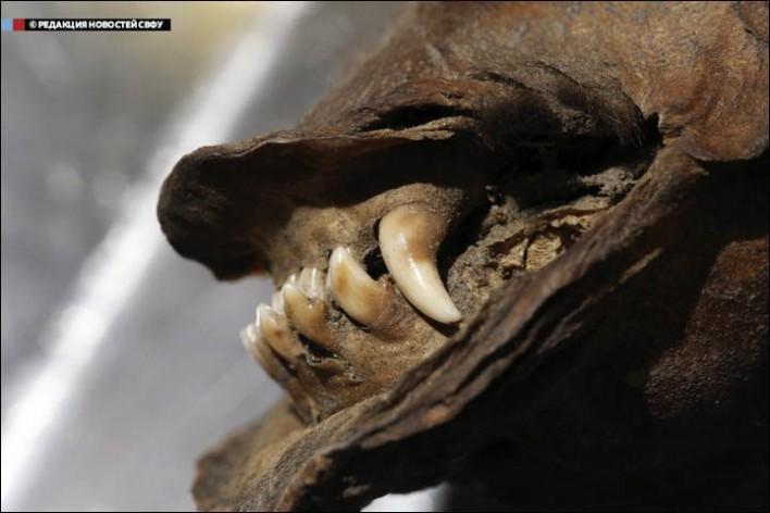 σκύλος- μούμια 12.400 ετών (7)