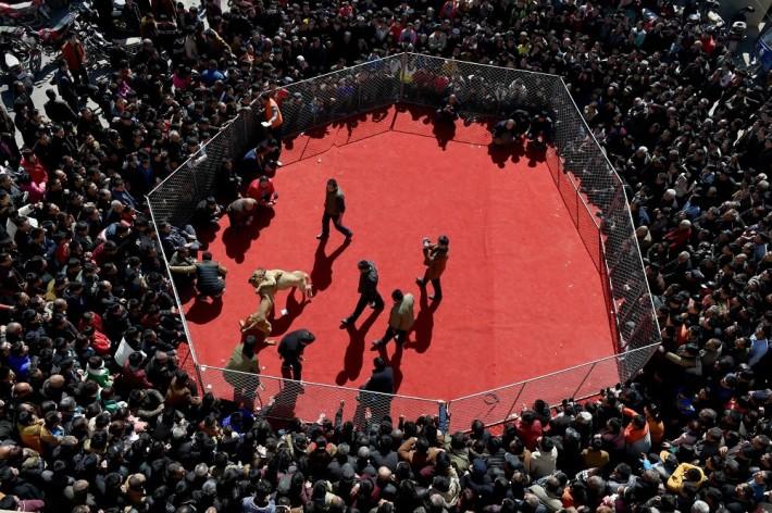 Κυνομαχίες μέχρι θανάτου στη Κίνα για τη ψυχαγωγία των κατοίκων 3