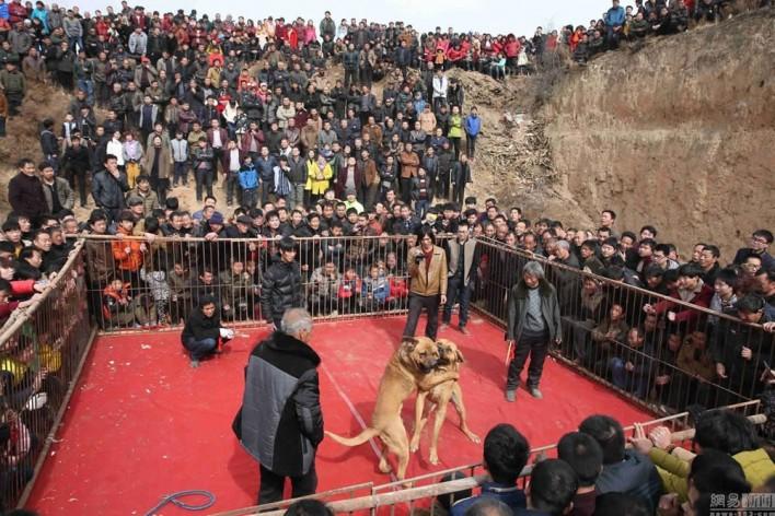 Κυνομαχίες μέχρι θανάτου στη Κίνα για τη ψυχαγωγία των κατοίκων 6
