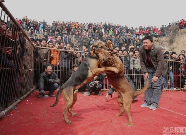 Κυνομαχίες μέχρι θανάτου στη Κίνα για τη ψυχαγωγία των κατοίκων 9
