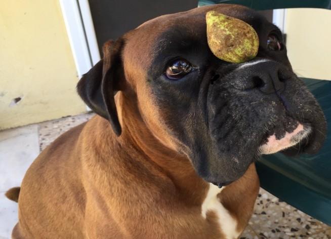 Φρούτα κατάλληλα για σκύλους