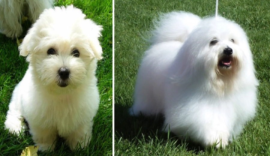 Coton De Tulear / Κοτόν Ντε Τουλεάρ - All About Dog