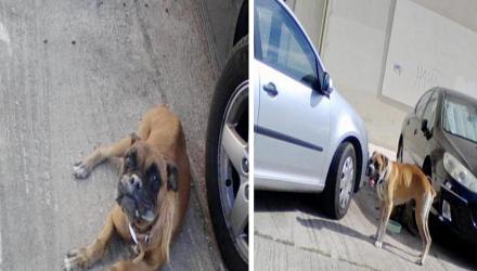 Πάτρα Εντοπίστηκαν δύο σκυλιά Boxer μόνα τους σε άσχημη κατάσταση στο Πανεπιστήμιο