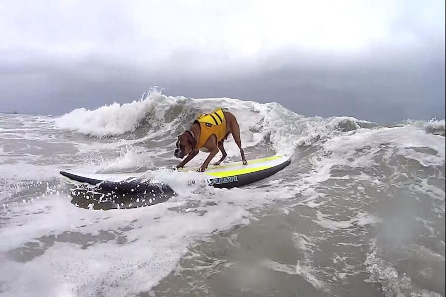 Σκύλοι σε διαγωνισμό surfing στη Καλιφόρνια 2