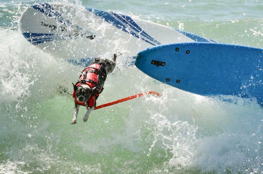 Σκύλοι σε διαγωνισμό surfing στη Καλιφόρνια 3
