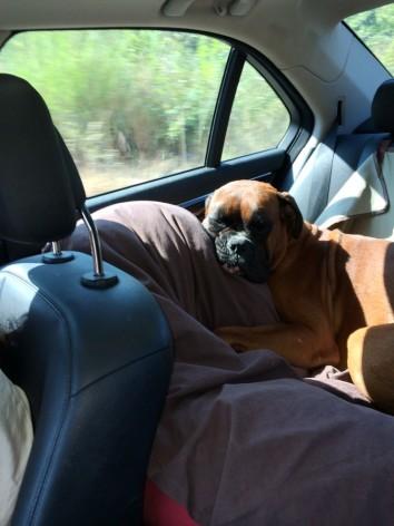 Σκύλος στο αυτοκίνητο - Οδήγηση, κίνδυνοι και ασφάλεια ! (2)