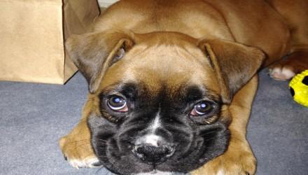 Νιώθουν οι σκύλοι ενοχές; Η επιστήμη έχει την απάντηση