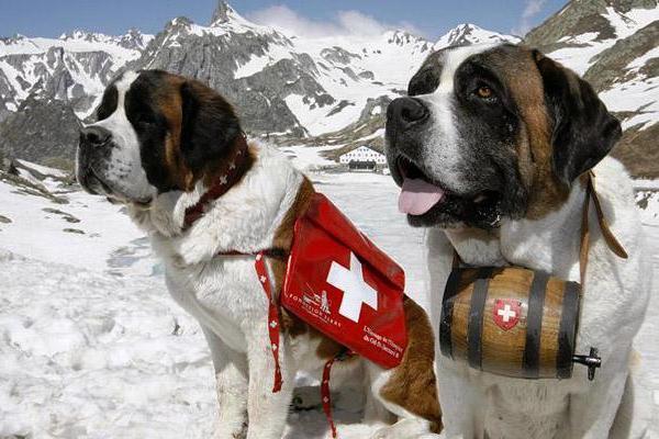 Κουβαλάει βαρελάκι με κονιάκ ένας σκύλος Αγίου Βερνάρδου (4)