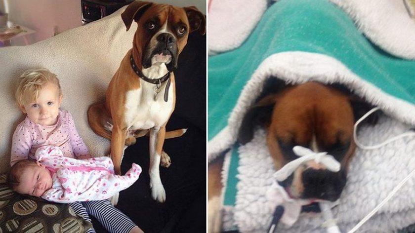 2c73a5b6592 Σκύλος μπόξερ ήρωας έσωσε 2χρονο κοριτσάκι από θανατηφόρο φίδι ...